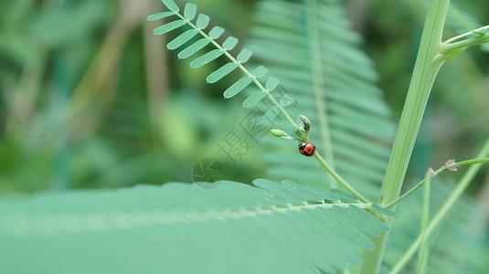 绿叶上的七星瓢虫图片