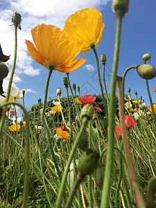 盛开的罂粟花图片