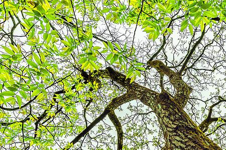 百年老树 刺槐 焕新生图片