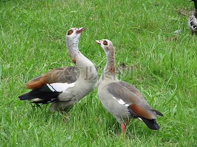 草坪上的野鸭子图片