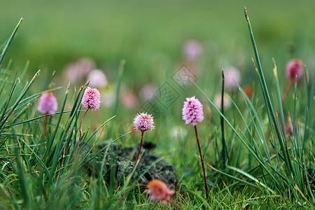 林芝米拉山口的小野花图片