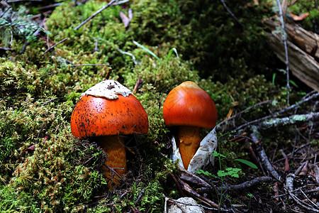 新措的蘑菇图片