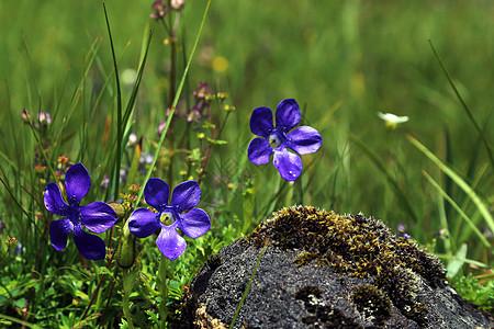 巴松错的小野花图片