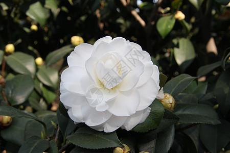 雪塔-茶花系列图片
