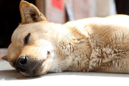俯卧于乡村农家里的狗 慵懒而舒适图片