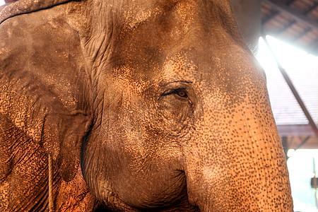 泰国国宝大象 被人民视为吉祥物图片