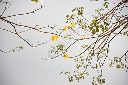 黄花绿枝图片
