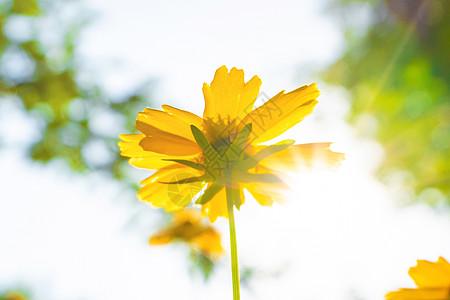 漂亮的红色硫华菊花随拍图片