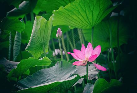 荷花莲花图片