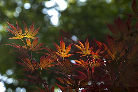 火烧的枫叶图片