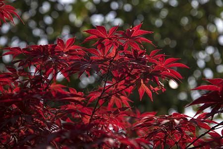 红红火火的枫叶图片