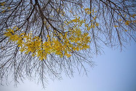 树上的金黄秋叶图片