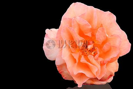 橙色玫瑰特写图片