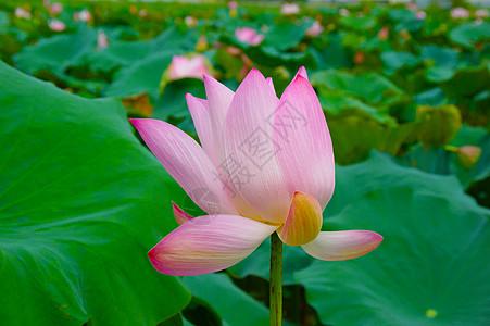 台南白河荷花图片