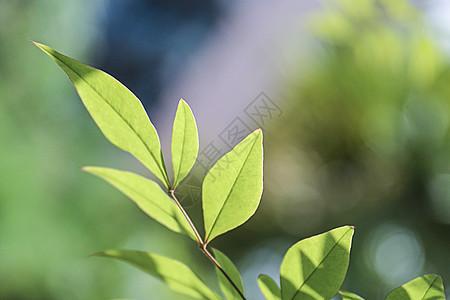 树叶桑叶绿春天发芽唯美虚化图片