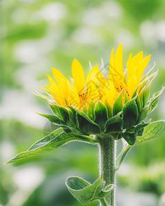 背景虚化向日葵太阳花图片