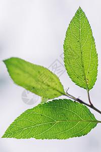 绿色叶子叶片纹理图案背景图片