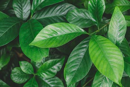 绿叶纯色背景枝繁叶茂清新图片