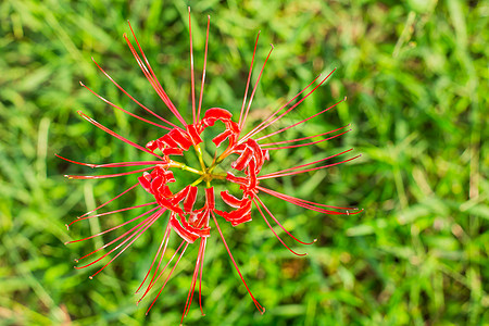 红花植物纹理图案图片
