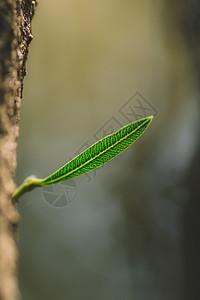 叶片叶子纯色背景微距纹路图片
