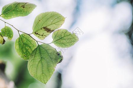 绿色叶片纯色背景虚化图片