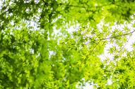 枫叶树叶自然风光背景图片