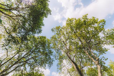 树木阳光蓝天白云枝繁叶茂图片
