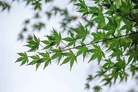 自然绿色枫叶背景素材图片