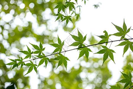 自然绿色枫叶图片