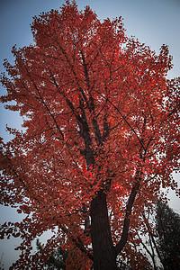 红红火火的树图片