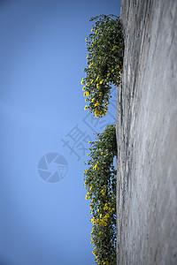 蓝天下的野菊图片