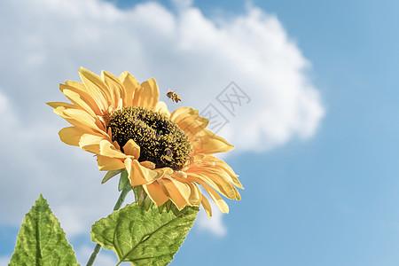 蜜蜂正在采蜜蓝天白云向日葵图片