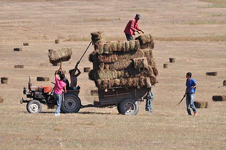 草原牧羊人打草准备过冬草料图片