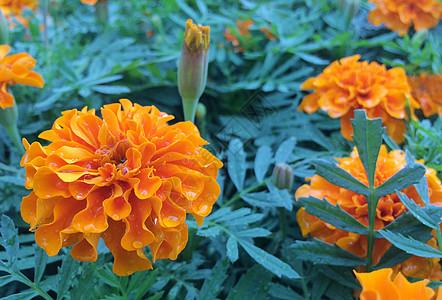 雨后有水滴橙色花朵青色叶子图片