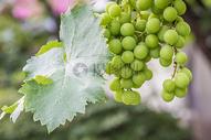 没有成熟的绿葡萄图片