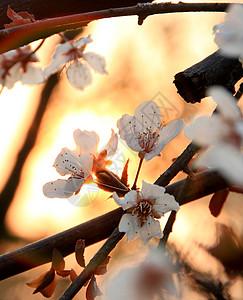 樱花夕阳图片