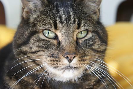 宠物猫脸部图片