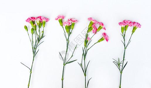 白背景上的 康乃馨图片