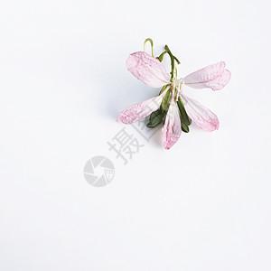 淡粉色紫荆花图片