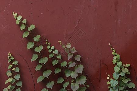 红墙上的叶图片