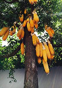 挂在树上的玉米棒图片