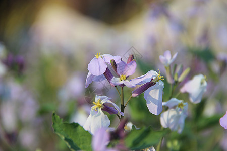紫色梦幻小花图片