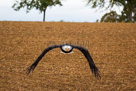 展翅翱翔的雕图片