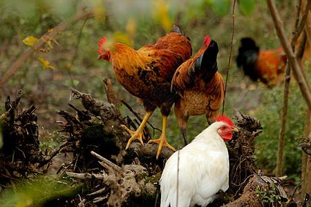 散养的鸡群图片