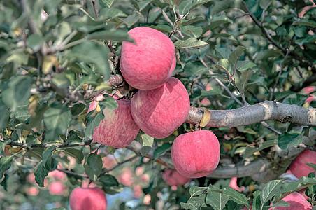 洛川苹果图片