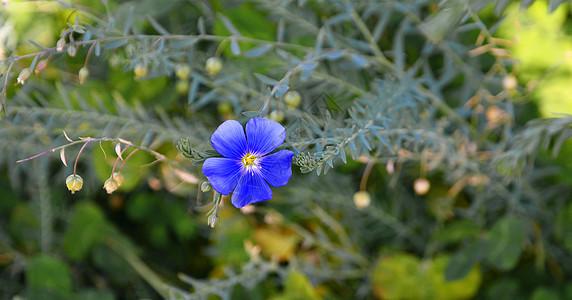 小蓝花图片