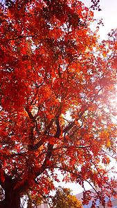 秋天的大红叶树图片
