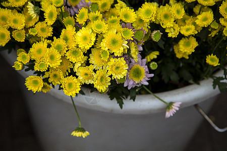 黄色的小菊花图片