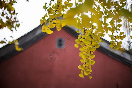 金色银杏叶图片