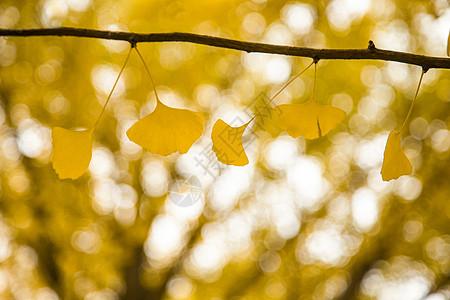 树挂下的银杏叶图片